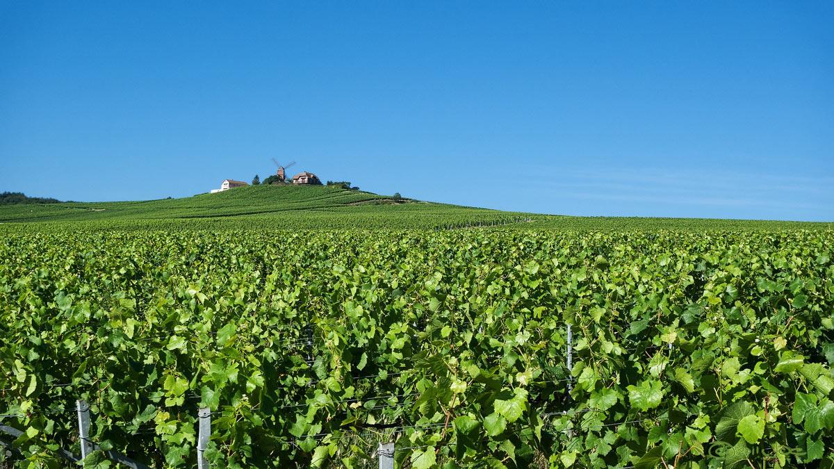 Reims Weingut, Reben , Frankreich